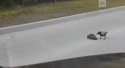 Вижте как врана спаси таралеж, за да не го сгази кола (Видео)