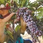 Подгответе се за гроздобера!