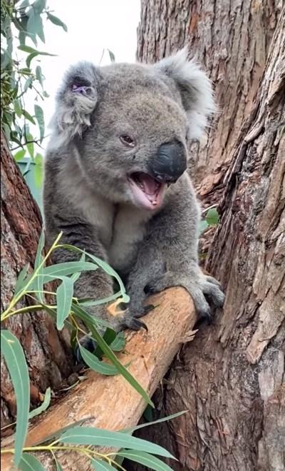Зоолози показаха как ръмжи сърдита коала (Видео)