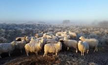 Шофьор изби стадо овце с колата си край Ракитово  и избяга
