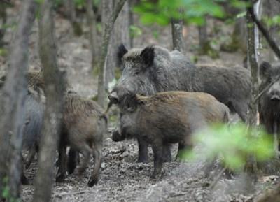 Не е ясно кога ще стартира груповият лов на дива свиня