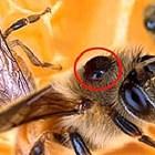 Повечето пчелари успяват да контролират популациите от акари, като наблюдават процента на зараза и прилагат химически обработки, когато популациите от акари станат твърде големи.