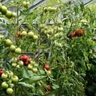 Отглеждане на доматив парници и оранжерии