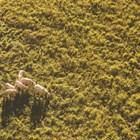 Учените са установили, че ако се пускат определени звуци, които позволяват на овцете да използват сензорите, слуха и остротата на зрението си, те се движат много по-лесно