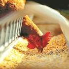 Защо през зимата семейните птицеферми търпят загуби?