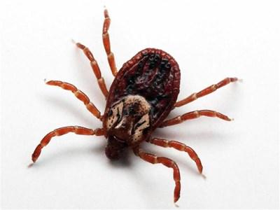 """Лаймската борелиоза има подчертана пролетно-лятна сезонност заради биологичната активност на пренасящите я кърлежи. Тя е в списъка на заразните и паразитните болести, които подлежат на задължителна регистрация, съобщаване и отчет. Регистрирани смъртни случаи от болестта у нас няма. СНИМКИ: """"24 ЧАСА"""""""