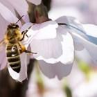"""Изчисленията на учени от Федералния научен център по пчеларство показват, че селскостопанските култури, където пчелите са """"работили"""", са 40 пъти по-скъпи от меда. За ефективно опрашване на около сто вида ентомофилни култури, отглеждани в Русия, е необходимо да има 7,2 милиона пчелни семейства - два пъти повече, отколкото има днес."""