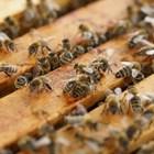 Подавайки храна на пчелите, те отделят повече млечице и хранят по-добре пчелната майка.