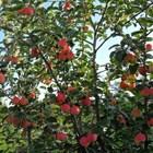 Как плододават ябълките