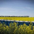 """За опрашването на маслодайна рапица са включени 300 хиляди пчелни семейства, а хибридната рапица - 80 хил. Наемът на едно семейство за опрашване на тази култура """"струва"""" 150 долара. Канада е световен лидер в производството на рапица."""