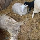 Отровен фураж умори 19 овце на животновъд от Първомайско