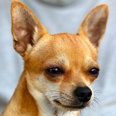 Самоизолирал се заради коронавируса стопанин праща кучето си на пазар СНИМКА: Pixabay