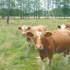 Кога се заплождат юница и крава?