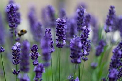 Освен че е много красиво растение, лавандулата е и богата на етерични масла. Ето защо е предпочитана суровина в козметичния и парфюмерийния бранш.