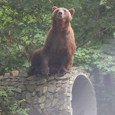 Мечокът Гошо Снимка: Парка за танцуващи мечки - гр. Белица.