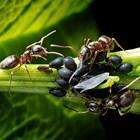 Мравки в градината