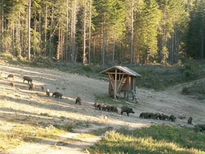 Тази година гледката на цяло стадо диви свине ще е рядкост.