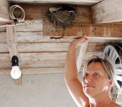 Бяла лястовичка се излюпи миналата година в двора на семейството на Любо и Илияна Петрови от бургаския квартал Горно Езерово. Снимка: Елена Фотева