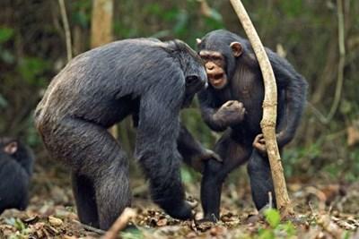 Изпускаме Троянска война при шимпанзетата