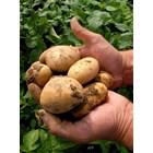 До 29 май производителите на картофи отчитат разходите си за борба с вредителите