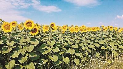 Слънчогледът се напада от много икономически важни болести