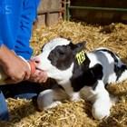 Прехранването на малките телета са най-честата причина за поява на диария. И рисковете за здравето стават големи!