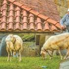 Проверявайте овцете и козите за кръвосмучещи паразити