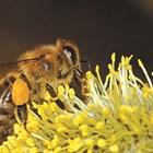 """При всеки полет медоносната пчела """"посещава"""" между 100 и 1000 цвята. Същата пчела ще направи 20 полета на ден. Броят им зависи от количеството нектар и колко е близо до него."""
