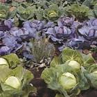 Актуално в зеленчуковата леха