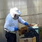 """При внимателен оглед на пчелите и пчелното пило може да откриете наличие на кърлежчета – червеникави, сплеснати """"точки"""" с големина на главичка на карфица."""