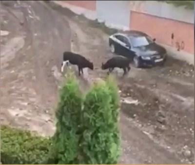 """Два големи бика гонят хора и нападат автомобили в столичния квартал """"Лозенец"""". СНИМКА: НОВА ТЕЛЕВИЗИЯ"""