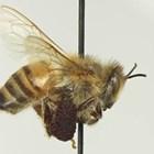 Североамериканската Работната група на NAPPC Honey Bee има няколко функции. Една от тях е да определя всяка година получателите на безплатни помощи за лечение на пчелите.
