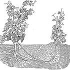 Попълването на празни места е сполучливо, когато се използват отводи от стари здрави корени