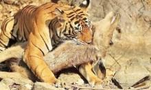 Тигрите са едни от най-ефикасните ловци
