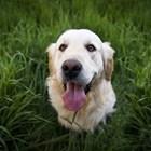 Чилийската полиция е започнала да обучава кучета за откриване на болни от COVID-19 СНИМКА: Pixabay