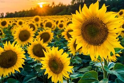 В Добричко слънчогледът е с по-ниски добиви от очакваните