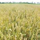 Бг-пшеницата качествена, чуждата – високодобивна