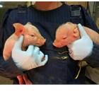 Колко е важно теглото на новородените прасета?