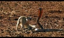 Мангуста срещу кобра