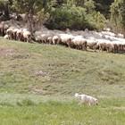 През пролетта и лятото кочовете се изкарват на паша, но не на големи разстояния. Добре е на пасището да има навес, където животните да пладнуват. Водата също трябва да е наблизо.