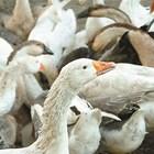 20-25 дни след началото на угояването гъските ще наддадат достатъчно на тегло