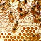 При поставянето на строителната рамка пчелите изграждат най-напред горното й отделение