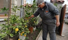 Таня от с. Трилистник гледа лимонова гора в двора си (снимки)