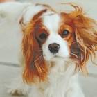 Десет спокойни породи кучета