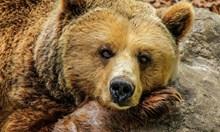Мечките се събудиха, нападнаха на три места в Родопите