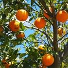 Кората на портокала бори коронавируса