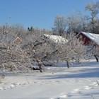 Снегът защитава дръвчетата