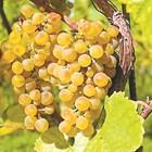 От какво се напукват зърната на гроздето
