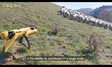 Куче-робот пасе овце