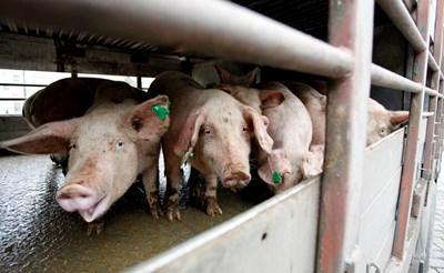 Транспортирането на живи свине е забранено в 10-километровата зона около Николово, Русенско.
